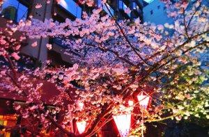 ぼんぼりでライトアップした桜