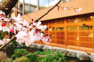 滝の湯の桜
