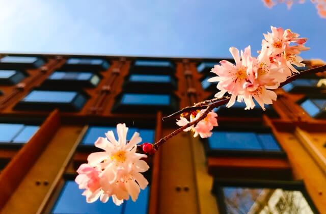 中庭の桜が動き始めましたよ~!