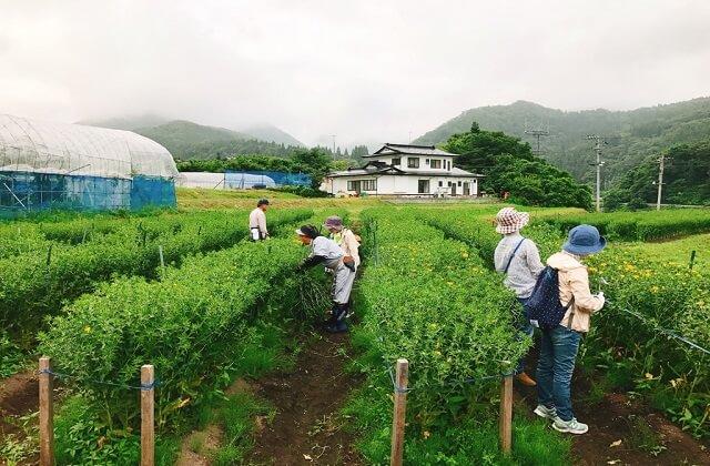 高瀬地区紅花畑