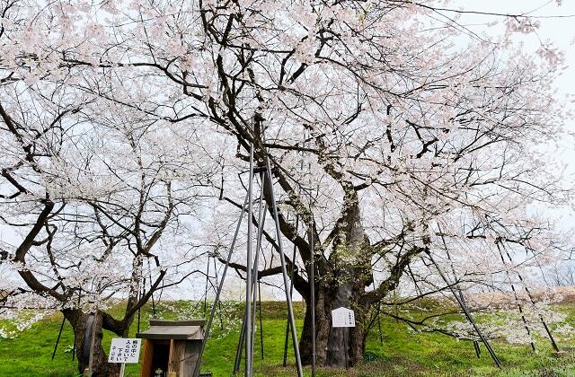 中山お達麿の桜