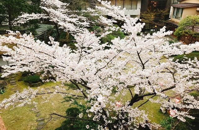 滝の湯庭園桜