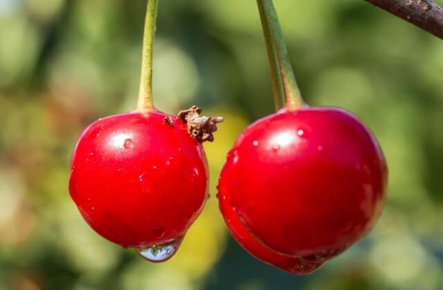 朝摘みさくらんぼ狩りツアー付き♪数種類の品種を朝から食べ比べ♪