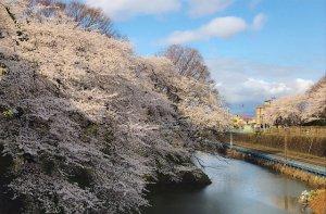 霞城公園のお堀の桜がお見事!