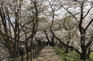 公園内も桜のトンネルがあったり春一色♪