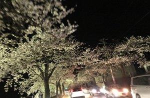 馬見ヶ崎さくらライン。桜のトンネルをドライブしながら眺める