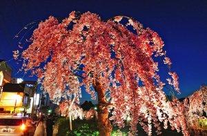 天童温泉北側の倉津川の枝垂桜も見事な景色に!