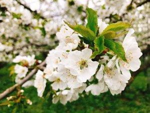 山形の代表選手「さくらんぼ」の花は白くて華憐♪