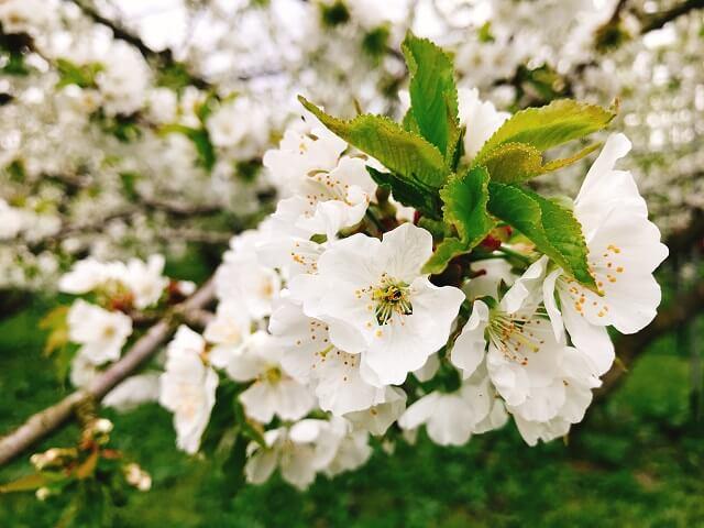 フルーツ王国やまがた・天童の果樹の花たち