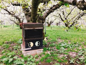 さくらんぼ畑には今しか見ることができない蜂の箱が!受粉には蜂を使用!