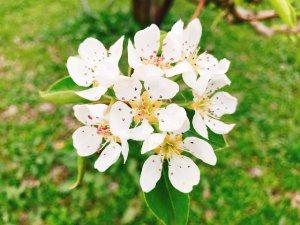 ラフランスの花も白くかわいらしい