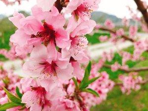 桃の花が一番色濃いピンクです♪